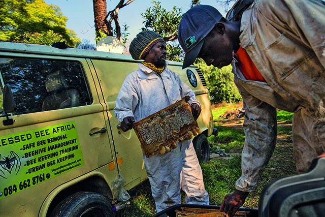 Farai Chinomwe and his assistant, Brighton Maketo, relocate a beehive. Chinomwe relocates bees to safer homes if they become a problem in residences. The beekeeper will be running the 87km Comrades Marathon backward to raise awareness for the bees. Picture: Daniel Born